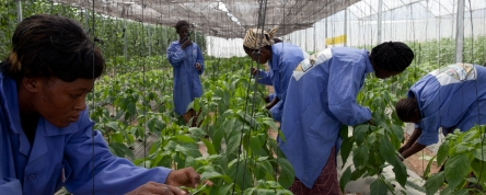 Workers Clipping Plants Vegetables Mali Photo World Bank