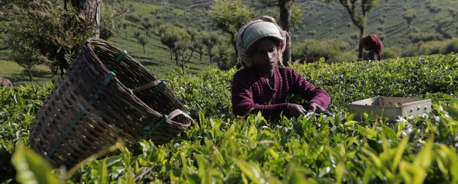 A tea picker working on a Fairtrade certified tea estate in India. © Siddarth Selvaraj / Fairtrade International