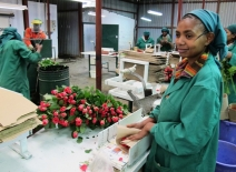 Preparing roses for export in a pack house in Kenya