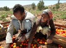 Farmers sorting Tomatoes. Ethiopia World Bank Pic