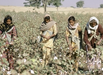 Women harvesting Indian cotton courtesy of the World Bank
